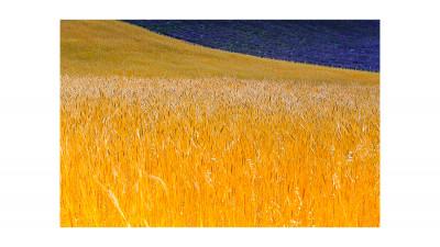 밀밭사이로